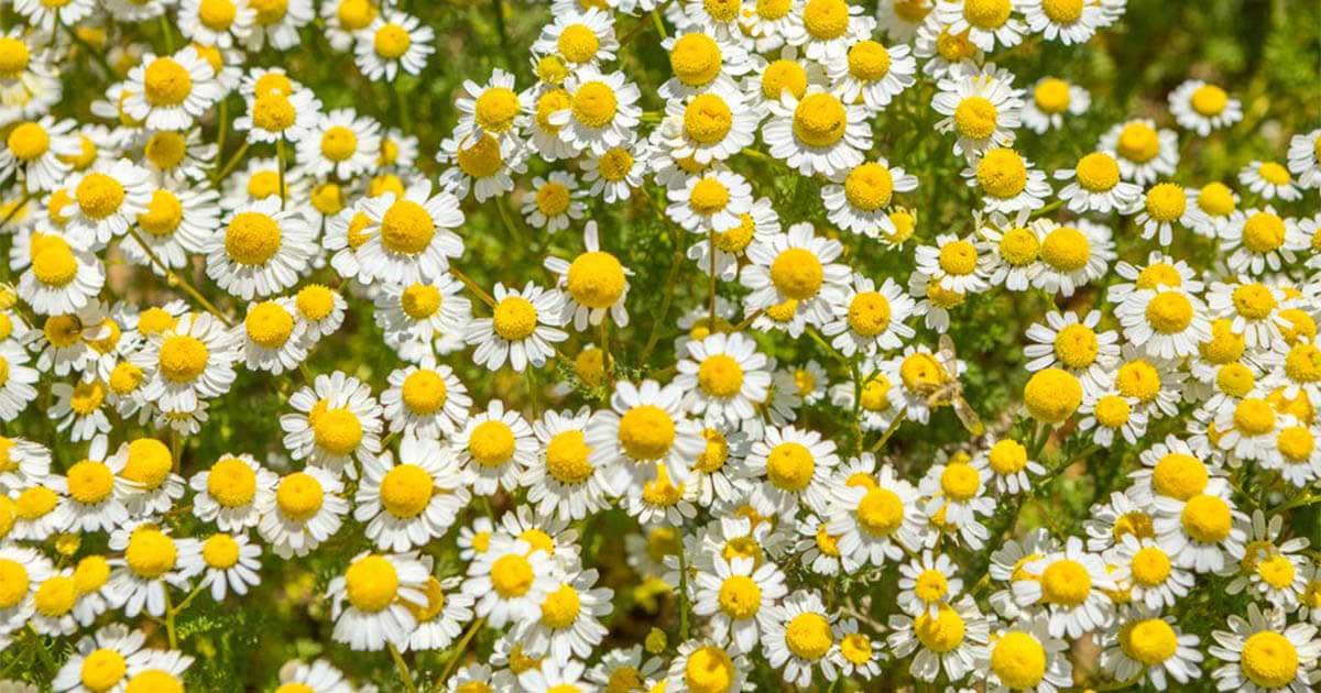 Cúc la mã – Loài hoa dại nhưng ẩn chứa những điều tuyệt vời