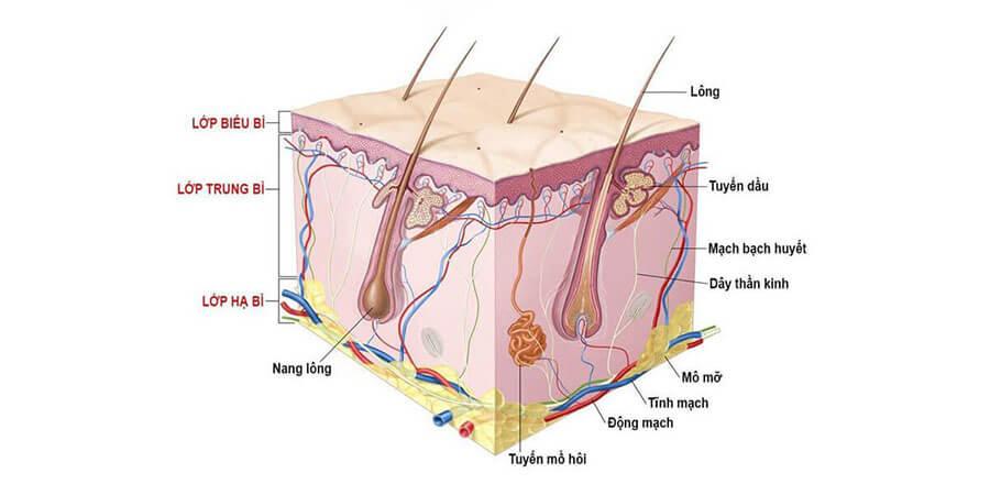 Cấu tạo của làn da
