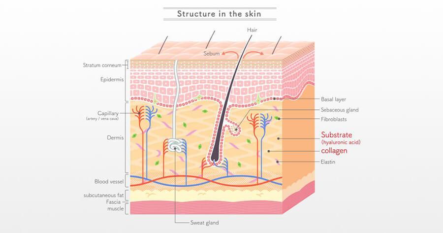 Hình minh họa Hyaluronic Acid cùng với Collagen (Bôi đỏ)