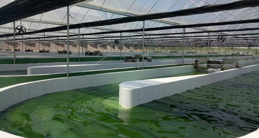 Nuôi trồng vi tảo xoắn tại IRDM thuộc Học Viện Nông Nghiệp Việt Nam