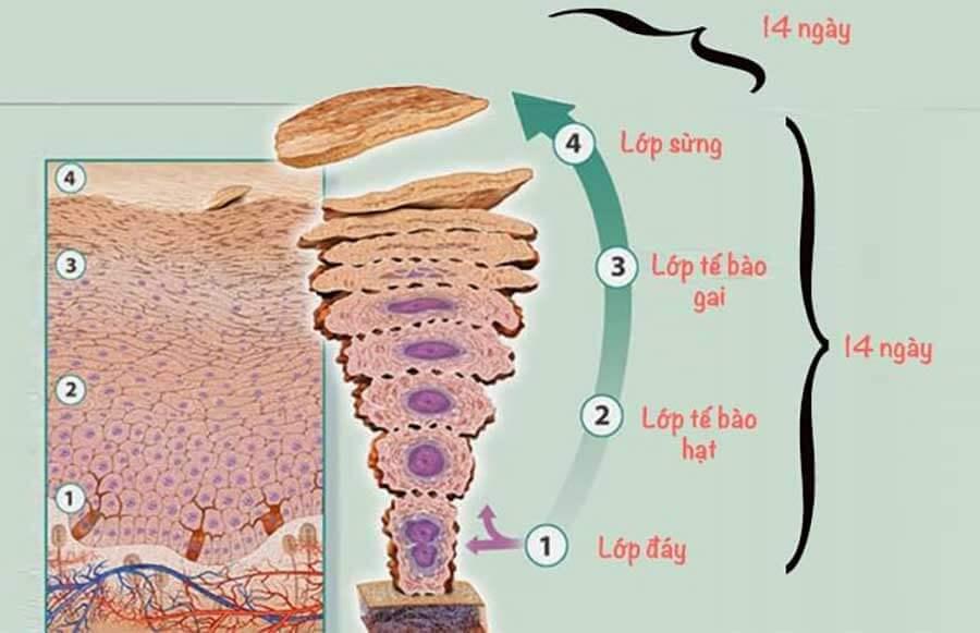 Quá trình tái tạo của làn da thường diễn ra trong khoảng 28 ngày