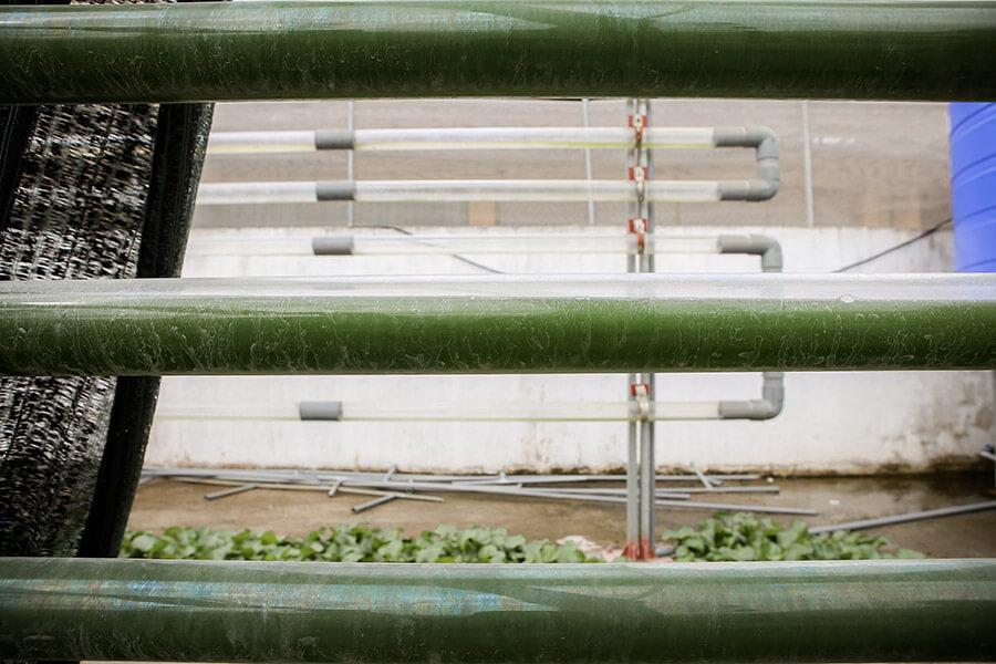Tảo Spirulina được nhân sinh tại Trung tâm Nghiên cứu và Phát triển Công nghệ sinh học vi tảo