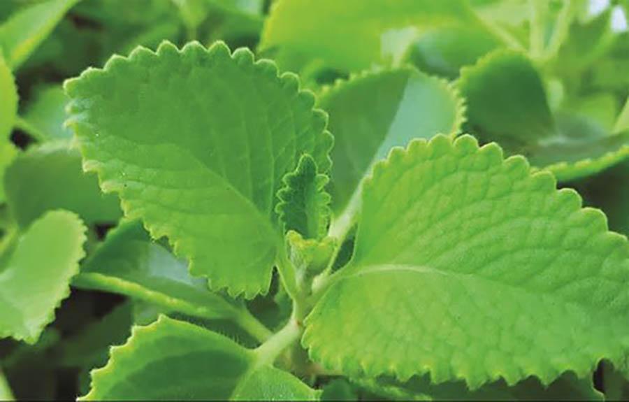 Rau tần (tần dày lá) là loại cây thân thảo mang nhiều công dụng rất hữu ích