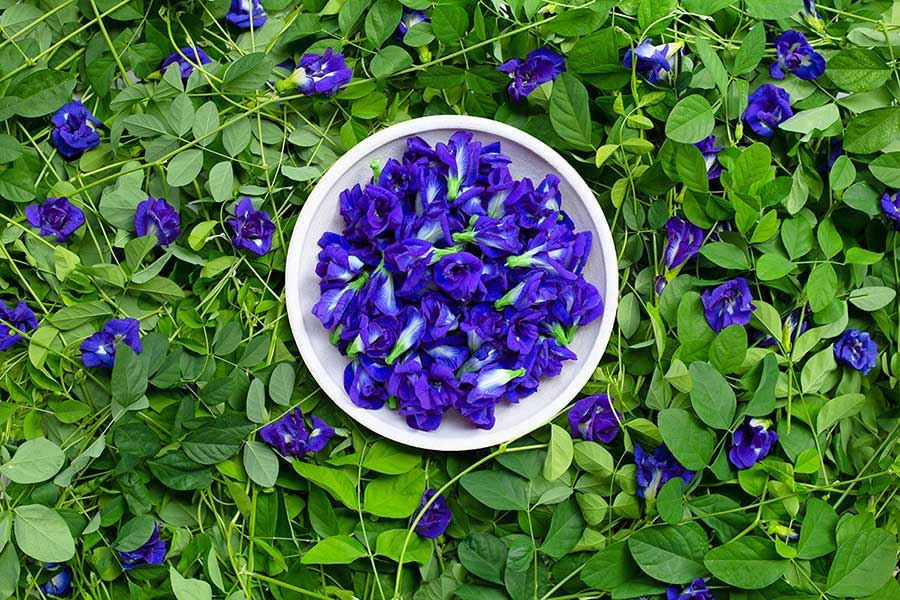 Cây bông biếc chứa nhiều hợp chất hữu ích và được ứng dụng rộng rãi