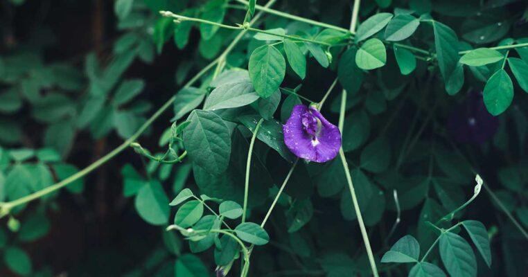 Hoa đậu biếc và những công dụng hữu ích cho cơ thể