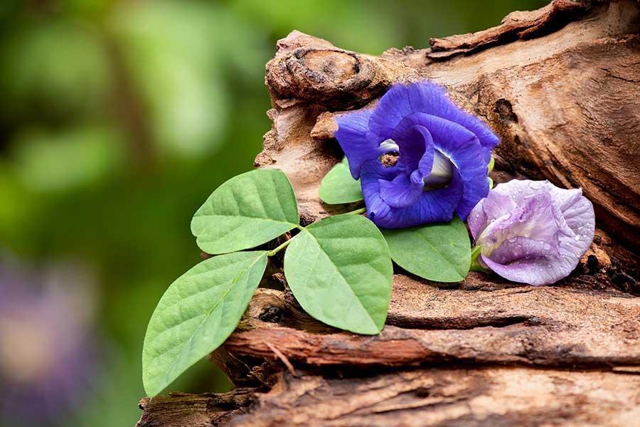 Ngoài ra loài hoa này còn được nghiên cứu sử dụng trong lĩnh vực y khoa